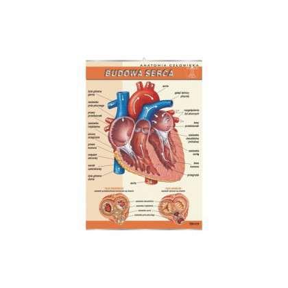 Plansza dydaktyczna - budowa serca