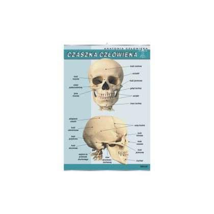 Plansza dydaktyczna - czaszka człowieka