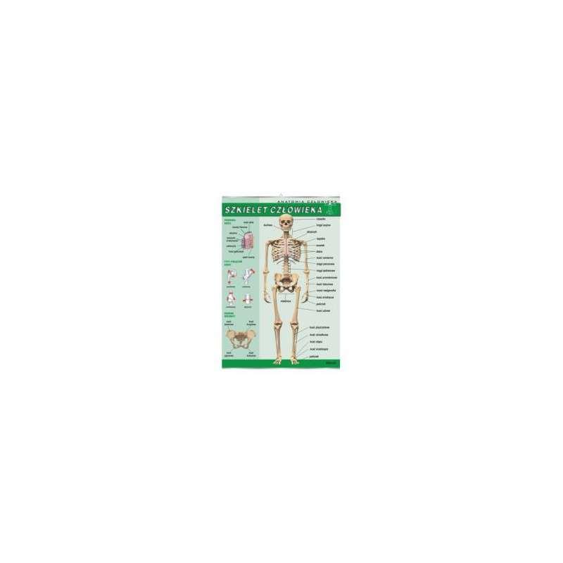 Plansza dydaktyczna - szkielet człowieka