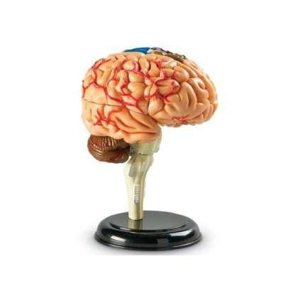 Anatomiczny model mózgu człowieka